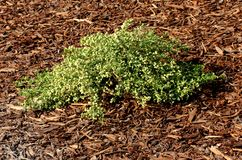 Coyote brush, Chaparral broom, Baccharis pilularis subsp. pilularis, male plant. Spreading prostrate branches, leaves mostly less than 10 mm long, and pale royalty free stock image