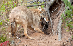 Coyote burying kill Royalty Free Stock Photo