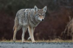 Coyote in Canada. In the rain stock image