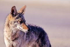 Coyote, Canis latrans Royalty Free Stock Photo