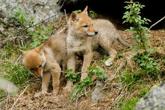 Coyote, Canis latrans stock images