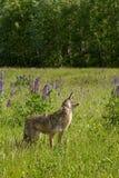 Coyote Canis latrans Barks Profile. Captive animal Stock Photography