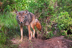 Coyote (Canis latrans) Climbs Out of Den Royalty Free Stock Photos