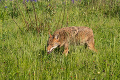 Coyote Canis latrans Creeps Through Grass Royalty Free Stock Photos