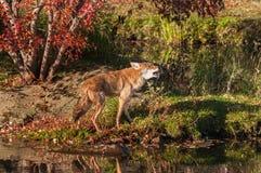Coyote (Canis latrans) Gangen en Gehuil royalty-vrije stock afbeeldingen