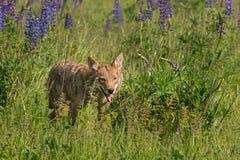 Coyote (Canis latrans) Gangen uit Lupineflard Stock Fotografie