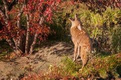 Coyote (Canis latrans) Gehuil royalty-vrije stock afbeeldingen