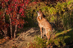 Coyote (Canis latrans) Gehuil door Boom royalty-vrije stock foto's