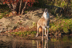 Coyote (Canis latrans) Gehuil door Vijver royalty-vrije stock foto