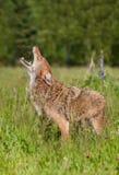 Coyote (Canis latrans) Gehuil op Gebied royalty-vrije stock foto's