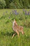 Coyote (Canis latrans) Gehuil op Gebied stock afbeeldingen