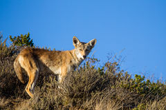 Coyote Canis latrans Royalty Free Stock Photos