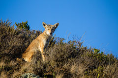 Coyote Canis latrans Stock Photography