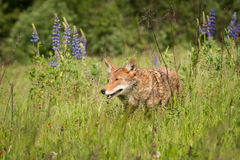 Coyote Canis latrans in the Grass Stock Photos