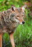 Coyote (Canis latrans) Head Stock Photo