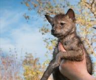 Coyote (Canis latrans) Jong aan Hemel wordt gesteund die Royalty-vrije Stock Foto's