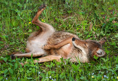 Coyote (Canis latrans) Lazes in the Grass Royalty Free Stock Images