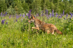 Coyote Canis latrans Leaps Left Stock Photos