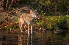 Coyote Canis latrans Licks Nose Stock Photos