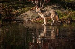 Coyote Canis latrans Looks Left With Reflection. Captive animal Stock Photography
