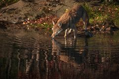 Coyote Canis latrans Looks Up With Reflection. Captive animal Stock Photo