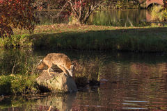 Coyote (Canis latrans) Looks at Water From Rock Royalty Free Stock Photo