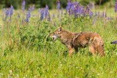 Coyote (Canis latrans) Mond Open op Gebied Royalty-vrije Stock Fotografie