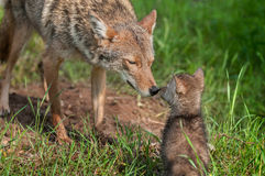 Coyote (Canis latrans) Nose Touch Stock Photo