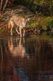 Coyote Canis latrans Paws in Water Royalty Free Stock Photography