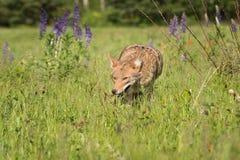 Coyote Canis latrans Prowls Forward. Captive animal Stock Image