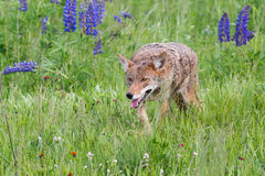 Coyote Canis latrans Prowls Through Grass. Captive animal Royalty Free Stock Photos