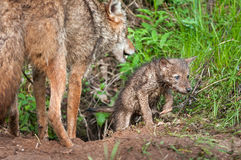 Coyote (Canis latrans) Pup Crawls out of Den - Adult Nearby Stock Image