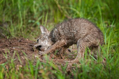 Coyote (Canis latrans) Pup Digs Up Meat Snack Stock Images