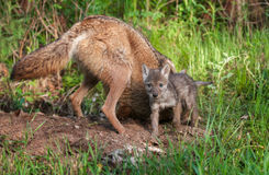 Coyote (Canis latrans) & Pup Outside Den Hole Royalty Free Stock Photography