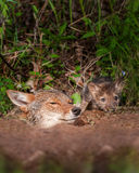 Coyote (Canis latrans) and Pup Peek out of Den Stock Photos