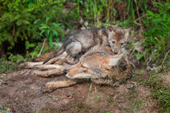 Coyote (Canis latrans) Pup Sits On Top of Adult Stock Photography