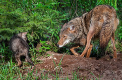 Coyote (Canis latrans) and Pup Stand Off Royalty Free Stock Photos