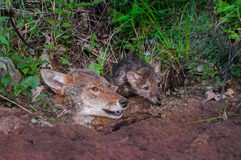 Coyote (Canis latrans) and Pup Stick Heads out of Den Royalty Free Stock Image