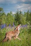 Coyote Canis latrans Raises Head to Howl Stock Photo
