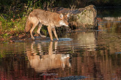 Coyote (Canis latrans) with Reflection Royalty Free Stock Photography