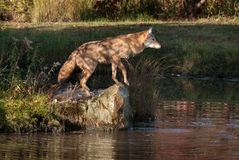 Coyote (Canis latrans) on Rock in Pond Stock Image