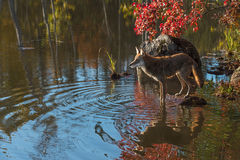 Coyote (Canis latrans) on Rock in Pond Royalty Free Stock Photo