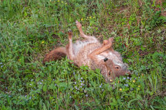 Coyote (Canis latrans) Rolls in the Grass Royalty Free Stock Photos