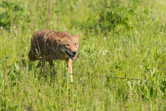 Coyote Canis latrans Runs Forward Through Grass Stock Images