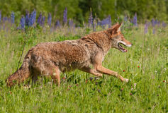 Coyote Canis latrans Runs Right Through Field Royalty Free Stock Image
