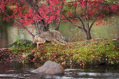 Coyote Canis latrans Runs Right on Island in Rain Autumn stock images