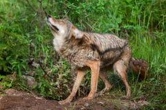 Coyote (Canis latrans) Shake Stock Image