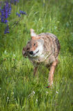 Coyote Canis latrans Shakes Off Stock Photography