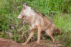 Coyote (Canis latrans) Shakes Off Stock Image