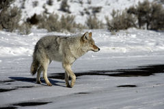 Coyote, Canis latrans, Stock Photos